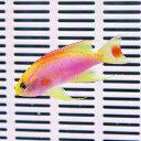 ベントラリス オス 4-5cm±! 海水魚 ハナダイ !15時までのご注文で当日発送【ハナダイ】