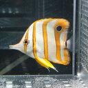 ハシナガチョウチョウウオ(チェルモ) 4-6cm±! 海水魚 チョウチョウウオ 【餌付け未】【15時までのご注文で当日発送【チョウチョウウオ】