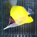 フエヤッコ 8-10cm± ! 海水魚 チョウチョウウオ 餌付け 【多少のヒレ欠けあり】【PHセール対象】【チョウチョウウオ】