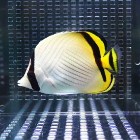 フウライチョウ 5-7cm±! 海水魚 チョウチョウウオ 餌付け 15時までのご注文で当日発送【チョウチョウウオ】