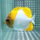カスミチョウ 11-13cm±! 海水魚 チョウチョウウオ 餌付け 【PHセール対象】【チョウチョウウオ】