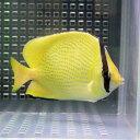 ゴマチョウチョウウオ 6-9cm±! 海水魚 チョウチョウウオ 餌付け!15時までのご注文で当日発送【チョウチョウウオ】