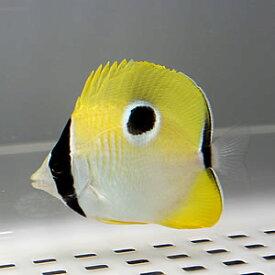 イッテンチョウ 8-10cm±! 海水魚 チョウチョウウオ 餌付け!15時までのご注文で当日発送【チョウチョウウオ】