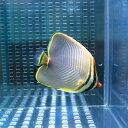 ミカドチョウチョウウオ 4-6cm±! 海水魚 チョウチョウウオ 【餌付け未】15時までのご注文で当日発送【チョウチョウウオ】