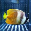 ミゾレチョウ 約5-8cm±! 海水魚 チョウチョウウオ 餌付け 15時までのご注文で当日発送【チョウチョウウオ】
