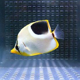 セグロチョウ 5-7cm±! 海水魚 チョウチョウウオ 【PHセール対象】【チョウチョウウオ】