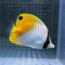 トゲチョウ 6-10cm±! 海水魚 チョウチョウウオ 餌付け 【PHセール対象】【チョウチョウウオ】