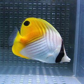 トゲチョウ 6-8cm±! 海水魚 チョウチョウウオ 餌付け 【PHセール対象】【チョウチョウウオ】