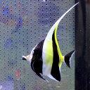 ツノダシ 7-10cm± 1匹 多少ヒレ欠けあり! 海水魚15時までのご注文で当日発送【チョウチョウウオ】