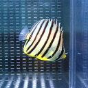 ヤスジチョウチョウウオ 3-5cm±! 海水魚 チョウチョウウオ 【餌付け未】 15時までのご注文で当日発送【チョウチョウウオ】