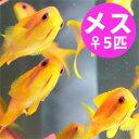 インドキンギョハナダイ メス 5匹セット 4-6cm± !海水魚 ハナダイ 餌付け15時までのご注文で当日発送【ハナダイ】