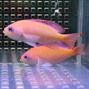 ケラマハナダイ 3匹セット 5-7cm±! 海水魚 ハナダイ 【餌付け】15時までのご注文で当日発送【ハナダイ】
