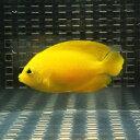 ヘラルドヤッコ 6-8cm±! 海水魚 ヤッコ 15時までのご注文で当日発送【ヤッコ】