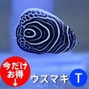 ウズマキ Tサイズ 約3-4cm±! 海水魚 ヤッコ 餌付け!15時までのご注文で当日発送【ヤッコ】