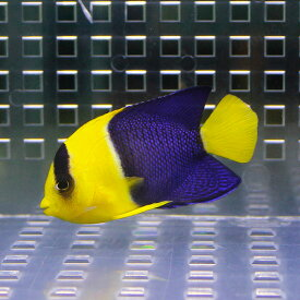 ソメワケヤッコ 5-7cm±! 海水魚 ヤッコ15時までのご注文で当日発送【ヤッコ】
