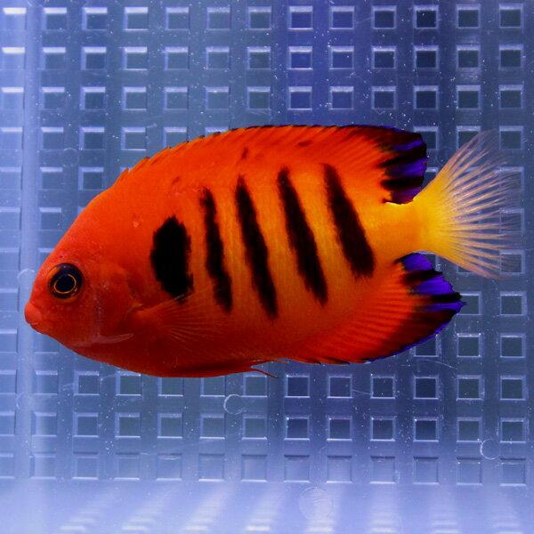 【クリスマス産】フレームエンゼル 5-7cm± ヤッコ 海水魚 人工餌付け!15時までのご注文で当日発送【ヤッコ】