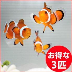 カクレクマノミ 3匹セット 3-4cm±! 海水魚 クマノミ 餌付け 15時までのご注文で当日発送【クマノミ】