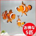 カクレクマノミ 5匹セット 3-5cm±! 海水魚 クマノミ 餌付け 15時までのご注文で当日発送【クマノミ】