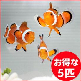 カクレクマノミ 5匹セット 3-4cm±! 海水魚 クマノミ 餌付け 15時までのご注文で当日発送【クマノミ】