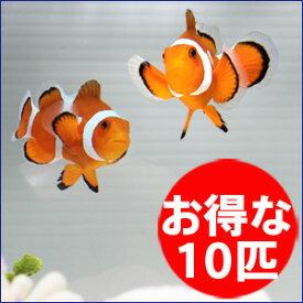 カクレクマノミ 10匹セット 3-4cm±! 海水魚 クマノミ 餌付け 15時までのご注文で当日発送【クマノミ】