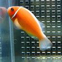 ハナビラクマノミ 【1匹】 !海水魚 クマノミ 餌付け 15時までのご注文で当日発送【クマノミ】