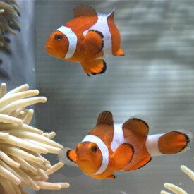 カクレクマノミ【1匹】 3-4cm±! 海水魚 クマノミ 餌付け★!15時までのご注文で当日発送【クマノミ】