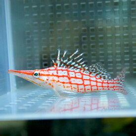 クダゴンベ 6-8cm !海水魚 ゴンベ 餌付け15時までのご注文で当日発送【ゴンベ】