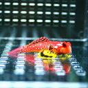 ルビーレッドドラゴネット 海水魚 ! 状態良好 ミヤケテグリsp.【PHセール対象】【テグリ】