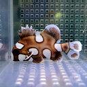 チョウチョコショウダイ 4-7cm±! 海水魚 コショウダイ 【餌付け】15時までのご注文で当日発送【コショウダイ】