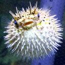 ハリセンボン 約7-10cm± !海水魚 フグ ※多少の鰭スレ、キズあり 15時までのご注文で当日発送【フグ】