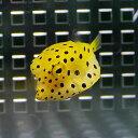 ミナミハコフグ 2-4cm±! 海水魚 フグ 【餌付け】15時までのご注文で当日発送【PHセール対象】【フグ】