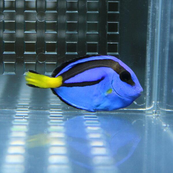 ナンヨウハギ SMサイズ 4-6cm 海水魚 ハギ! 多少ヒレ欠け有 15時までのご注文で当日発送【ハギ】