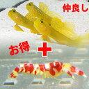ギンガハゼ 3-4cm + ランドール【セット】 海水魚 ハゼ! エビ なかよし共生 餌付け 15時までのご注文で当日発送【ハ…