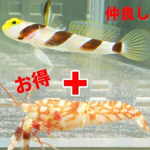 ハタタテネジリンボウ 3-4cm+ニシキテッポウエビ【セット】!なかよし 共生 餌付け 海水魚 ハゼ 15時までのご注文で当日発送【ハゼ】【エビ】