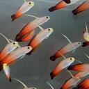 ハタタテハゼ 【3匹】 約4-6cm±! 海水魚 ハゼ 餌付け 15時までのご注文で当日発送【ハゼ】
