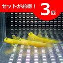 ギンガハゼ イエロー 3-5cm± 3匹セット 海水魚 ハゼ! 餌付け 15時までのご注文で当日発送【ハゼ】