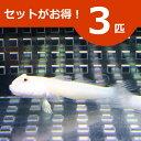 ミズタマハゼ 5-8cm± 3匹セット 海水魚 ハゼ! 餌付け 15時までのご注文で当日発送【ハゼ】