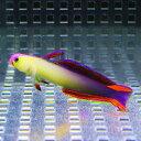 アケボノハゼ 3cm-6cm± 【1匹】 海水魚 ハゼ! 餌付け 【※少しかけあり】15時までのご注文で当日発送【ハゼ】