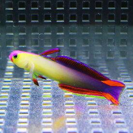 インドネシア産 アケボノハゼ 5-7cm± 【1匹】 ! 海水魚 ハゼ 餌付け 【15時までのご注文で当日発送【ハゼ】