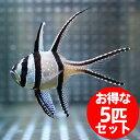プテラポゴン カウデルニー 4-6cm【5匹】! 海水魚 テンジクダイ 15時までのご注文で当日発送【テンジクダイ】
