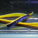 ブルーリボンイール(ハナヒゲウツボ)!海水魚 ウツボ 15時までのご注文で当日発送【ウツボ】