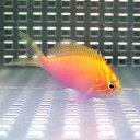 ハナゴンベ 【1匹】 4-6cm± ! 海水魚 ゴンベ !15時までのご注文で当日発送【ゴンベ】