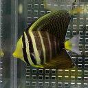 ヒレナガハギ 5-7cm± 海水魚 ハギ! 餌付け 【PHセール対象】【ハギ】