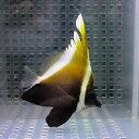 ツノハタタテダイ 6-8cm± !チョウチョウウオ 海水魚15時までのご注文で当日発送【チョウチョウウオ】