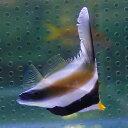 ミナミハタタテダイ 5-7cm±! 海水魚 チョウチョウウオ 【PHセール対象】【チョウチョウウオ】