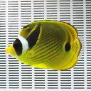 チョウハン 10-12cm± 海水魚! チョウチョウウオ 【PHセール対象】【チョウチョウウオ】