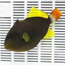 【現物】リーフビルダー掲載個体 12cm±! 海水魚 ハギ 餌付け15時までのご注文で当日発送【PHセール対象】【ハギ】