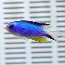 アレンズダムセル 1匹 4-5cm±! 海水魚 スズメダイ 餌付け!15時までのご注文で当日発送【スズメダイ】