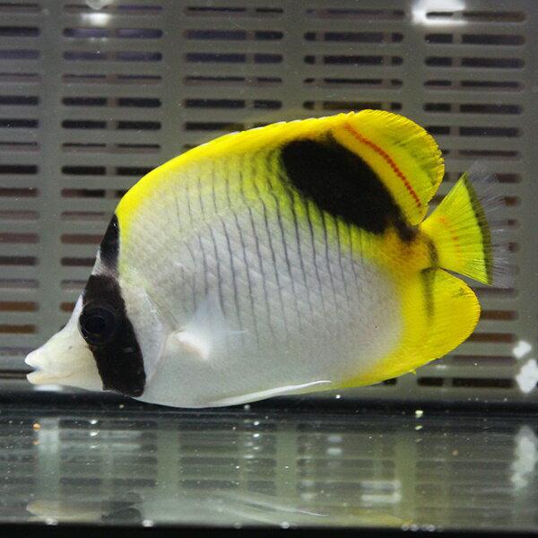 インドニセフウライ8-11cm±! 海水魚 チョウチョウウオ 15時までのご注文で当日発送【チョウチョウウオ】