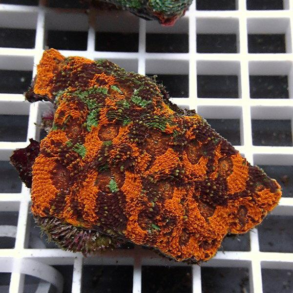 【サンゴ現物1】キクメイシ !15時までのご注文で当日発送 【サンゴ】